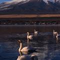 山中湖畔から見る富士山と白鳥たち。。20170101