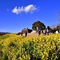 写真: 綺麗な青空。。黄色い絨毯な菜の花。。吾妻山公園 20170121