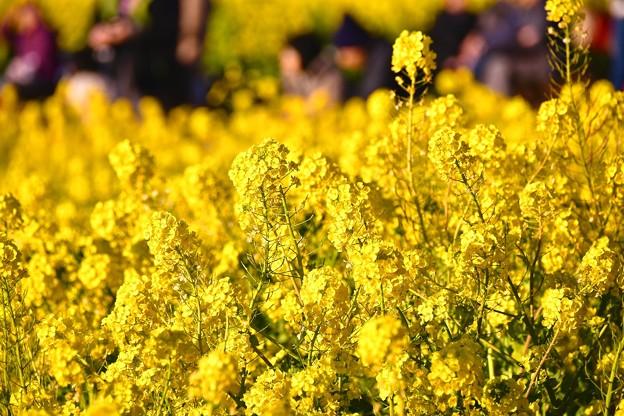 綺麗な黄色いの花。。吾妻山公園の菜の花畑 20170121