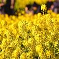 写真: 綺麗な黄色いの花。。吾妻山公園の菜の花畑 20170121