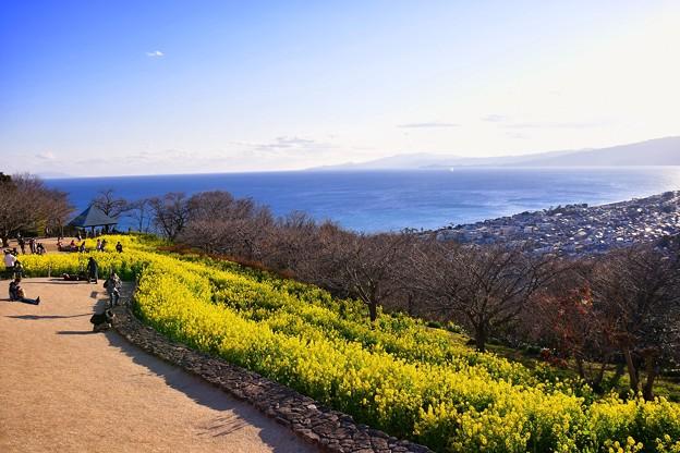 休日の昼下がり吾妻山公園から見える相模湾と菜の花 20170121