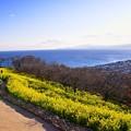 写真: 休日の昼下がり吾妻山公園から見える相模湾と菜の花 20170121
