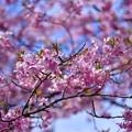 青い空に似合うピンクの河津桜。。伊豆河津町の河津桜まつり。。20170218