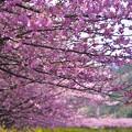 河津川の河川から見る河津桜のカーブ。。伊豆河津町 20170218