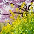 河津川の河川敷に負けずに綺麗な菜の花。。20170218