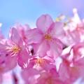 花びらも綺麗なピンクの河津桜。。伊豆河津町 20170218