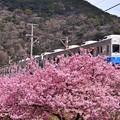 伊豆河津駅。。河津桜とコラボ伊豆急行普通列車 旧東急8000系。。(^^)20170218