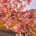 夕暮れ にピンクからオレンジ色へ。。伊豆河津町の河津桜 20170218
