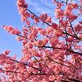 夕暮れに青空と赤らめてピンクから変わる。。伊豆河津町の河津桜 20170218