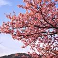 夕暮れへ向かう伊豆河津町。。ピンク色の河津桜も夕暮れ色へ。。20170218