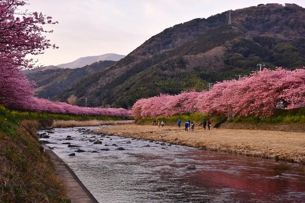 夕暮れの河津川。。もっと濃くなる河津桜。。(^^)20170218