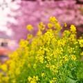 夕暮れの河津川沿い咲く菜の花。。(^^)20170218