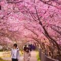 夕暮れの河津川沿い 河津桜のトンネル 語り合いながら歩く2人。。(^^)20170218