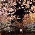 夜桜の河津桜。。上見上げると。。(^^)河津町 20170218