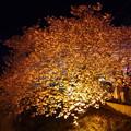 幻想的な光の演出。。伊豆河津の河津桜ライトアップ 20170218