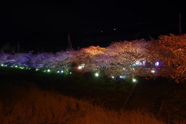 伊豆河津町の最後の夜を。。夜桜見物で。。20170218