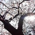 善通寺涅槃桜