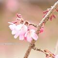 写真: 0228 桜