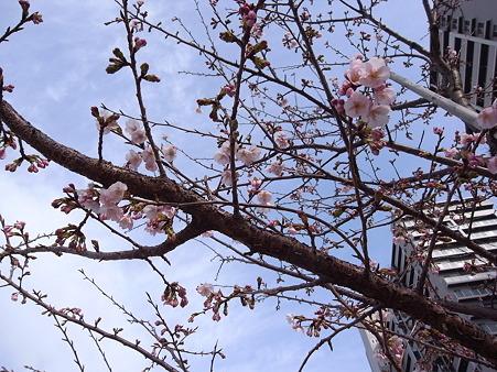 汐入公園の桜 2011-3-6 07