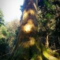 樹齢600年の御神木
