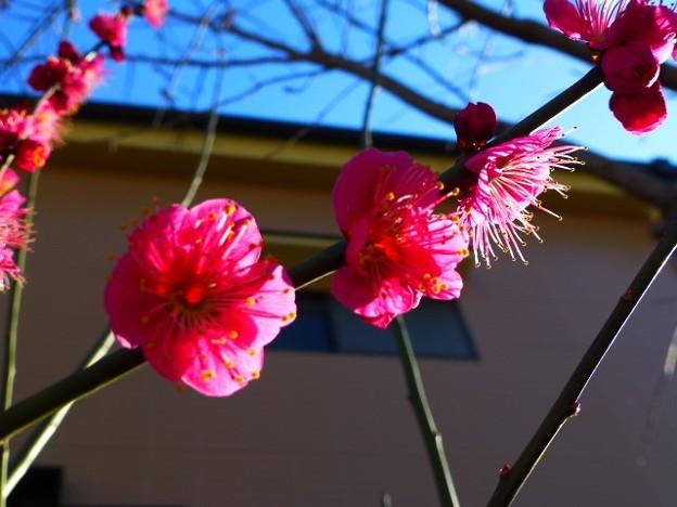 参道の梅の花