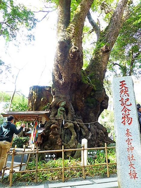 樹齢2千年を超える大楠