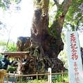 Photos: 樹齢2千年を超える大楠