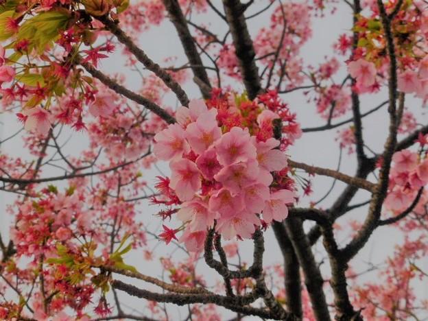 熱海の大寒桜