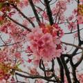 Photos: 熱海の大寒桜