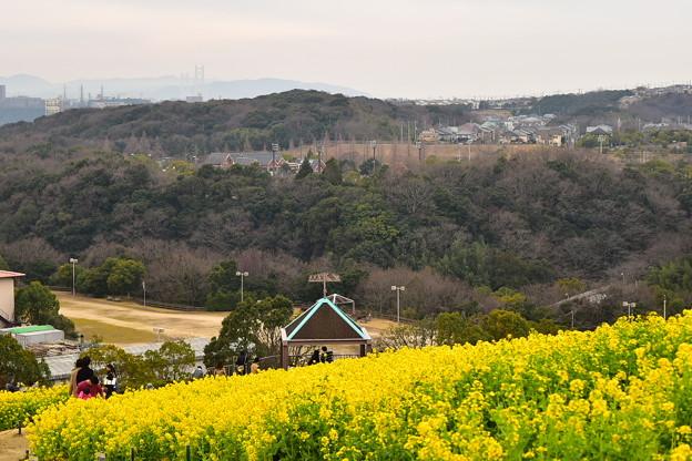 神戸総合公園 コスモスの丘