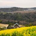 写真: 神戸総合公園 コスモスの丘
