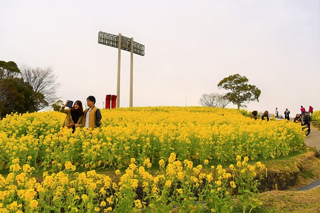 黄色く彩られた菜の花畑