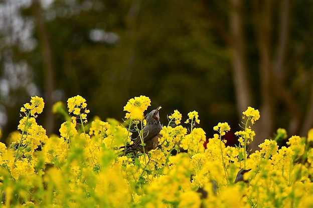 写真: 菜の花を啄むヒヨドリ