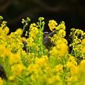 写真: 菜の花まつり