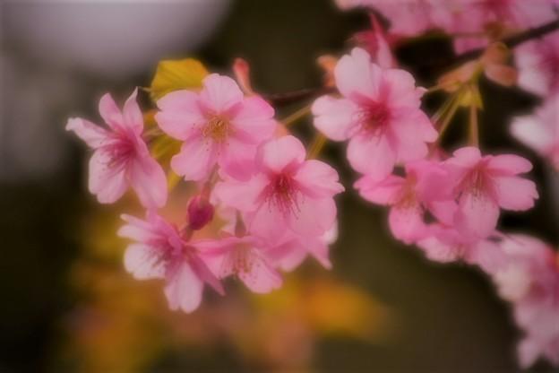 早咲きの桜が多い車折神社