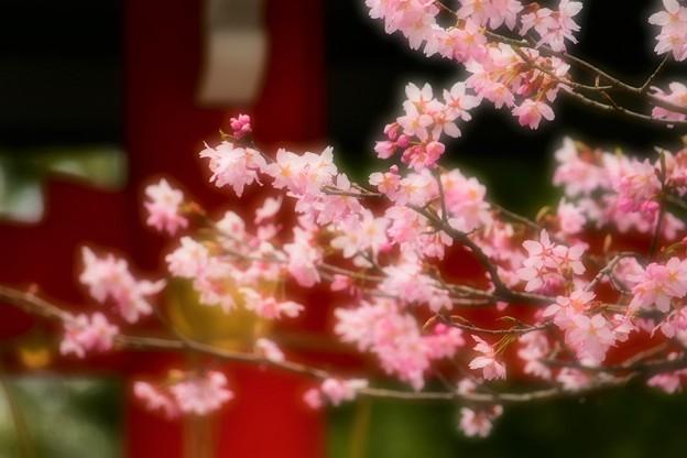 Photos: 境内の桜