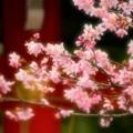 写真: 境内の桜