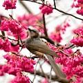 ヒヨドリと寒緋桜