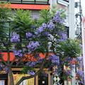 Photos: 銀座に咲くジャカランダ