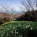 写真: 水仙の咲く丘♪