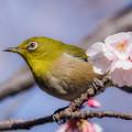 Photos: 夫婦桜とメジロ♪