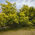 Photos: 春日公園のミモザ♪