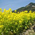 道の駅原鶴の菜の花♪2