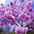 内山緑地の陽光桜♪