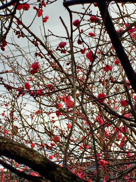 梅がもう咲いている