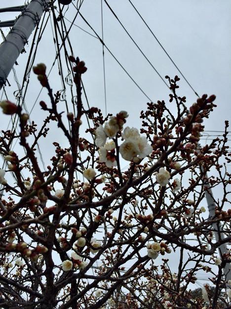 白梅も咲いてる