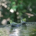 Photos: メジロちゃんの水浴び