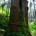 写真: 450 御岩神社 三本杉