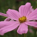 写真: 思いっきり広げた花弁気持ちいい!
