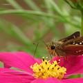 写真: 紅色のコスモスの花にイチモンジセセリ